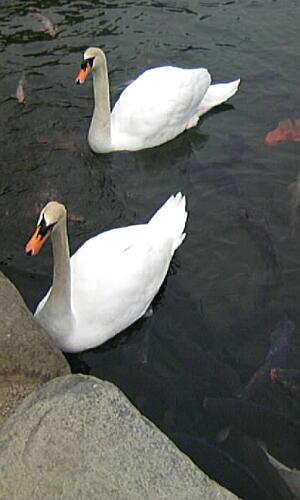 松本城の白鳥4