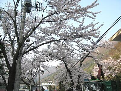 駐車場桜2