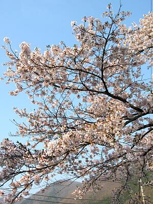 案内所桜3
