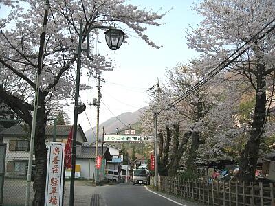 駐車場桜1