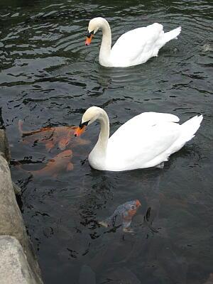 松本城の白鳥5