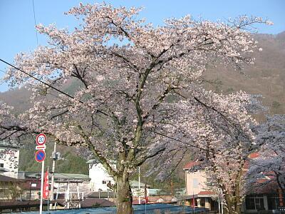 案内所桜1