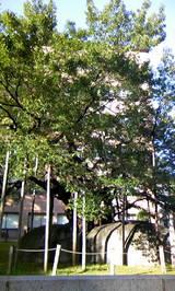 石割桜2(縦)