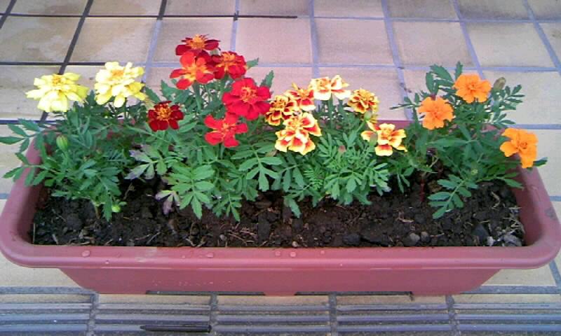 こんなふうにプランターに寄せ植えしましたよ~☆ マリーゴールドは4色並ぶとすごく綺麗です