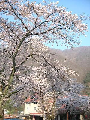案内所桜2
