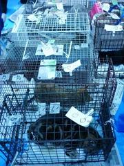 webP1110640  毛剃りを待つ猫たち(麻酔まで完了)