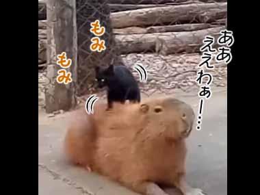 ネコのテクニックに思わずうっとり! → 猫に「マッサージ」されるカピバラはこんな感じ