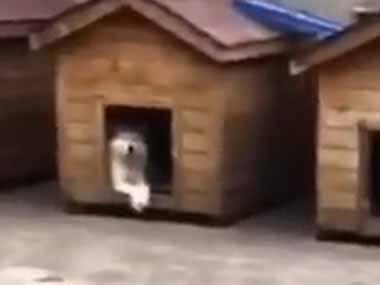 【イヌ】 飼い主が帰ってきた。門を開けて敷地に入る。するとどうなるの? → こうなります…