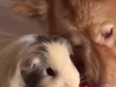 犬とモルモットが一緒に「シャクシャク!」 → なかよく「スイカ」を食べる風景はこんな感じ…