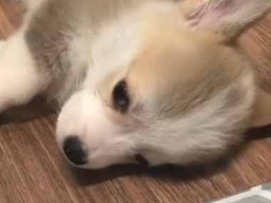 子イヌが床に寝転んでいた。おやすみなさ~い♪ → 子犬はコロンとこうなります…