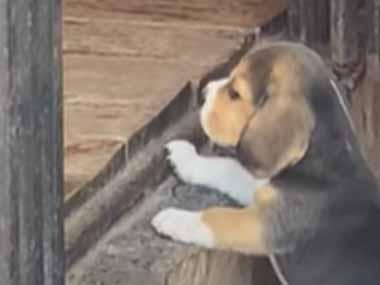 【子イヌ】 デッキの上で母犬がくつろいでいた。そこに登りたいけど登れない! → ちっこい子犬、がんばります…
