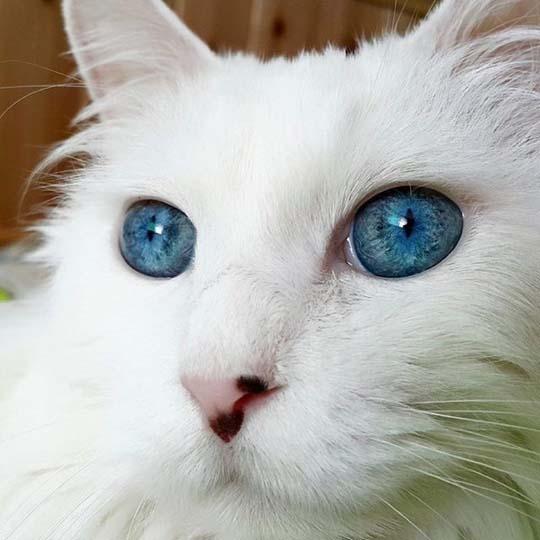 À�瞳は小宇宙】 Á�のネコはまるで「宝石」のような目をしていました nj�の動画 Á�こわん!