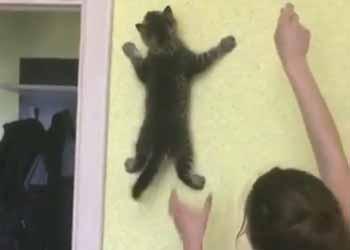 子ネコが部屋の中に入ってきた。ねこじゃらしを追いかける! → 子猫は壁でこうなる…の画像