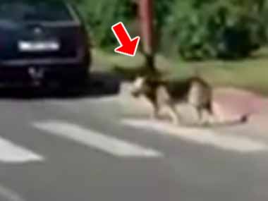 車で走っていたらイヌが道を渡ろうとしていた。車を止めてみる。そこは横断歩道だった → 犬はこうする…