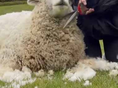 モフモフな毛をお姉さんが刈っていた。ハサミでチョキチョキ♪ → 羊の顔はこうなります…