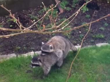 2匹のアライグマが庭に現れる → 「ハイムリック法」を始めたようですコメント コメントする