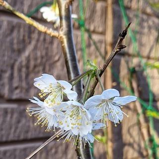 桜ん坊の花