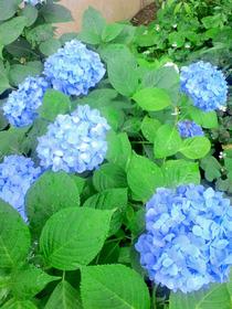 110617紫陽花