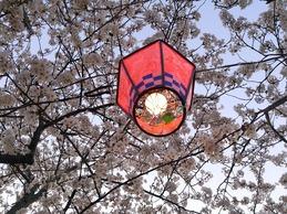 高塔山の桜