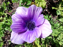 130321アネモネ紫