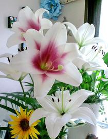 110623祭壇花
