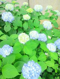 110610紫陽花