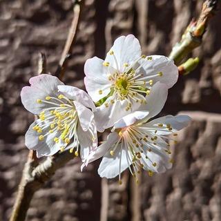 暖地桜ん坊開花