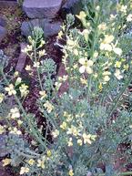 130321ブロッコリ花