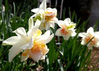八重咲き水仙たち