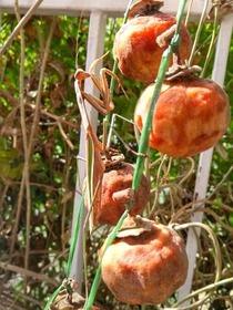 干柿と蟷螂