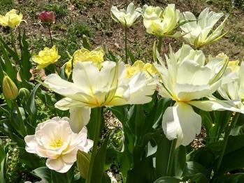八重咲きチュウリップ