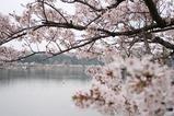 せんばこ桜