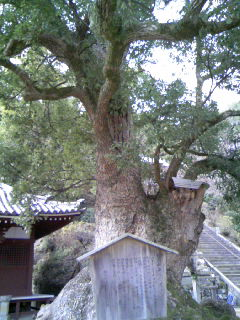 観音寺神木