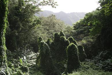 ハワイ森の精霊