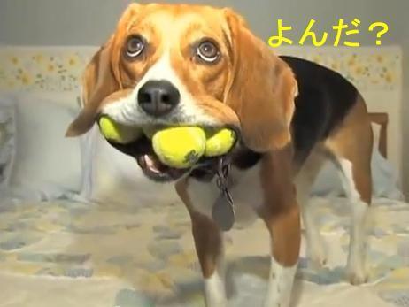 ぉヴぇー. ビーグル犬は、頭が悪いと言われるが・・・