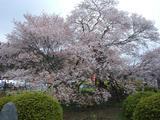 狩宿の下馬桜3