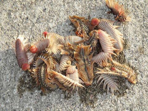 【閲覧注意】ウミケムシとかいう地獄の生き物wwwwwwwww