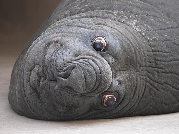 【閲覧注意】ゾウアザラシとかいう化け物みたいな動物wwwwww