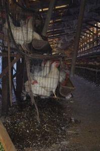 【悲報】鶏の一生が悲惨過ぎる…