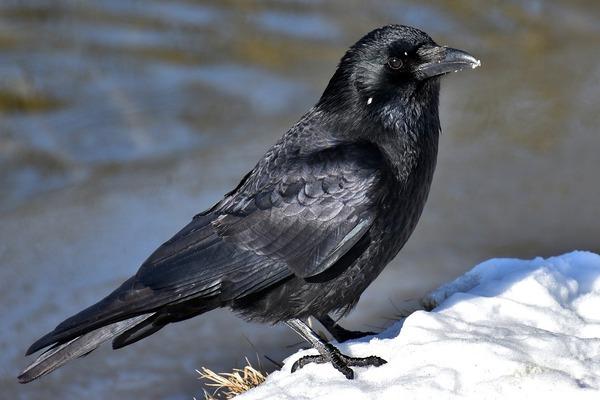 common-raven-3184260_1280