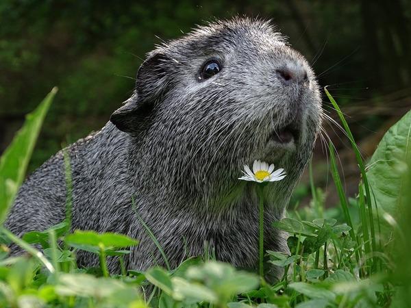 guinea-pig-3336994_1280