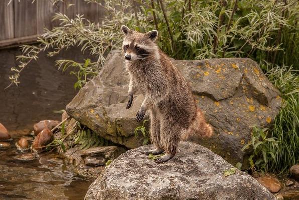 raccoon-2539997_1280