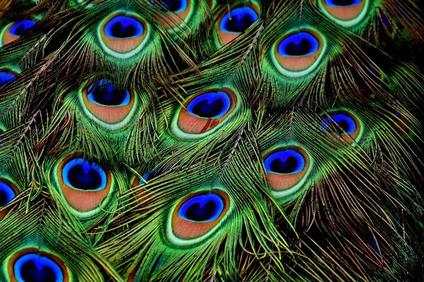 peacock-feathers-3013486_1280
