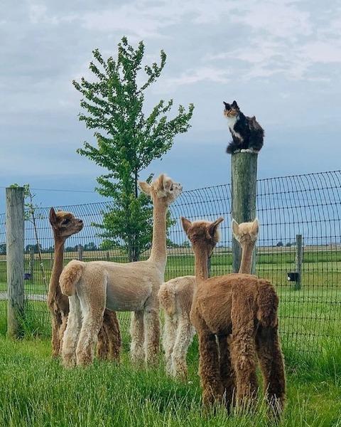 完全にアルパカに包囲されたネコw!!