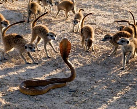 コブラ対ミーアキャット