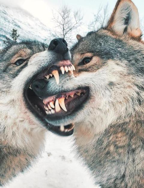 オオカミの噛み合い