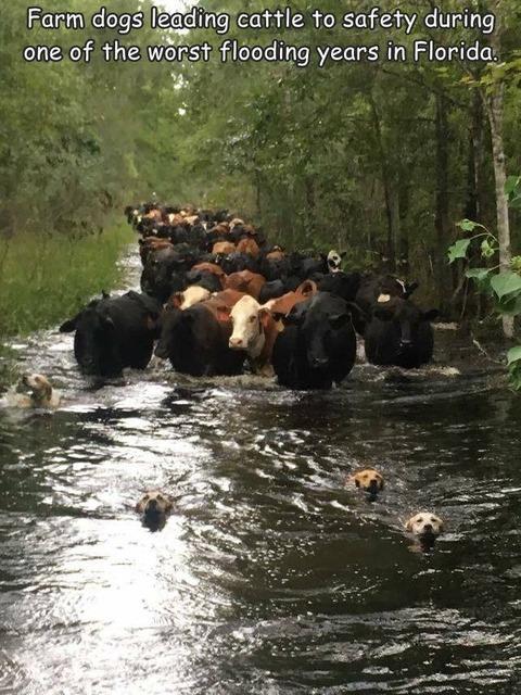 記録的な豪雨で道がなくなった時も牛を導く牧羊犬。
