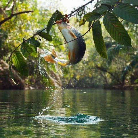 木のみを食べる魚