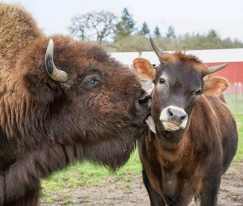 仲良しのバイソンとジャージー牛 (1)