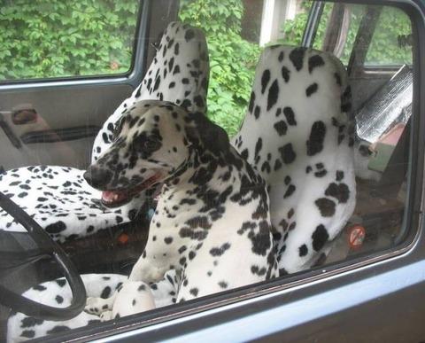 ダルメシアン柄の車のシートに座るダルメシアン